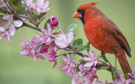 Fondos de pantalla Pájaro rojo cardinal, manzano, flor de las flores, la primavera
