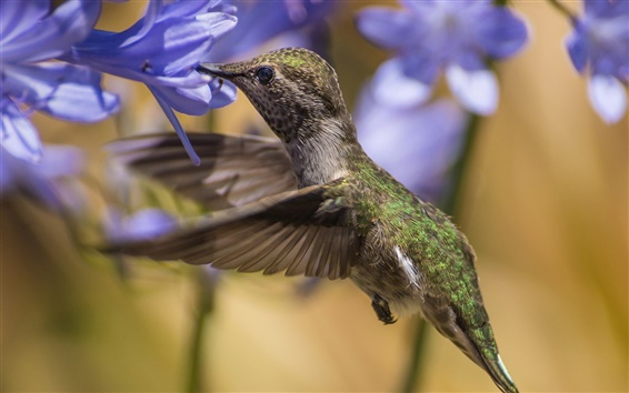 Papéis de Parede Chupar beija-flor de mel, pairando, flores azuis
