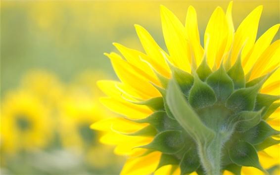 Fondos de pantalla Primer del girasol, casquillo de la flor, amarillo, pétalos traseros