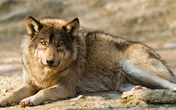 Papéis de Parede Wolf, predador, descanso