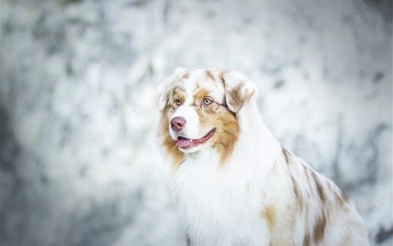 Wallpaper Australian shepherd, dog close-up, bokeh