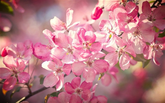 Wallpaper Beautiful cherry flowers bloom, pink petals, spring, bokeh