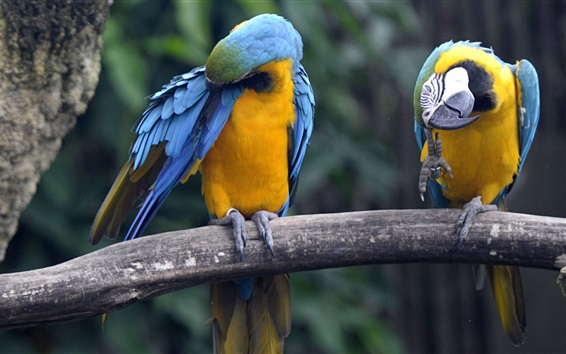 Wallpaper Blue and yellow macaws, Singapore