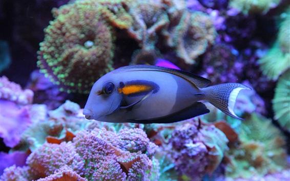 Fond d'écran Poisson bleu, sous-marin, mer, récif corallien