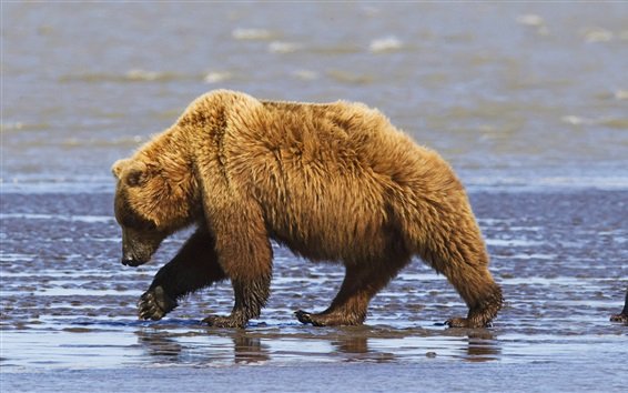 Fond d'écran Brown porte la famille, la mère et les oursons, le parc national de Lake Clark, Alaska, USA