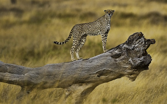 Wallpaper Cheetah on a tree branch, Serengeti National Park, Tanzania