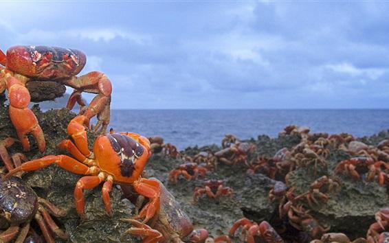 Papéis de Parede Christmas Island Red Crab, Austrália