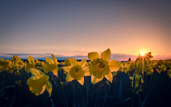 Wallpaper Daffodils flowers, yellow petals, dusk, sunset
