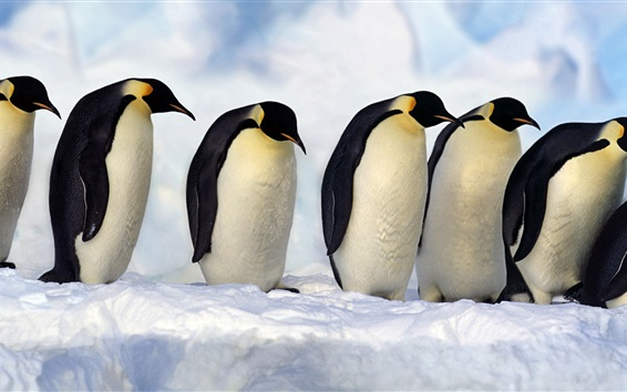 Wallpaper Emperor Penguins, Antarctica, snow, cold