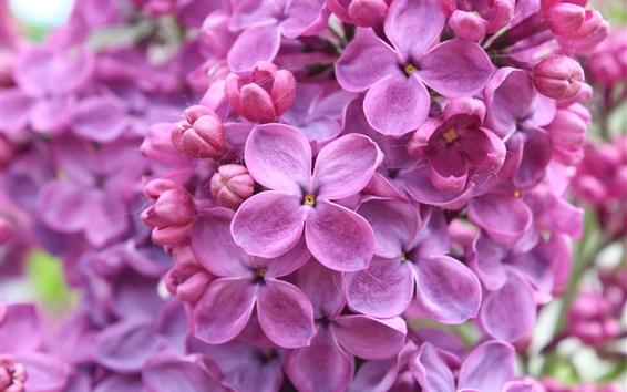壁紙 花クローズアップ、紫色ライラックマクロ撮影