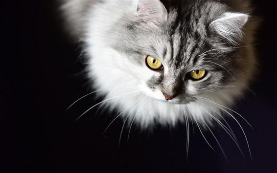 Wallpaper Furry kitten, yellow eyes, black background