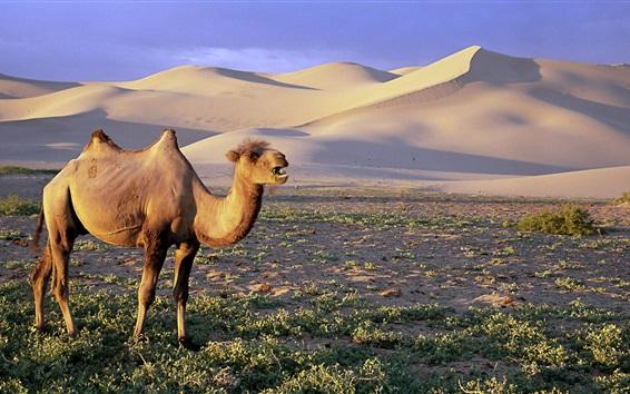 배경 화면 고비 사막 낙타는 몽골 모래 언덕