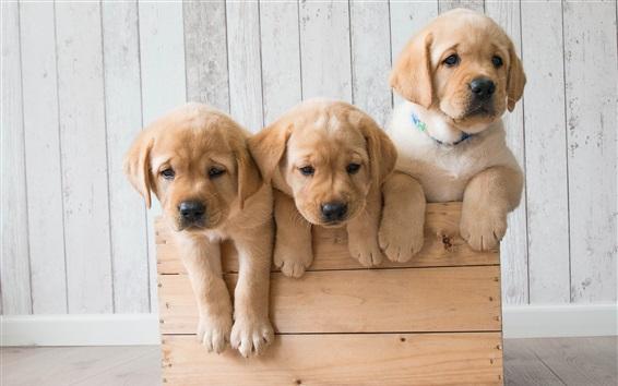 Wallpaper Golden Retriever, three cute puppies