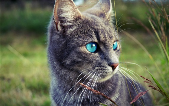 Wallpaper Gray cat, blue eyes, grass