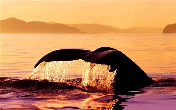 Обои Горбатый кит на закате, Stephens проезд, Аляска, США