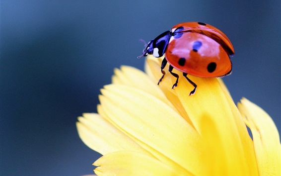 Hintergrundbilder Insekt close-up, Marienkäfer , Käfer, gelbe Blütenblätter