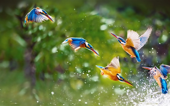 Wallpaper Kingfisher touch water close-up