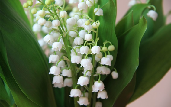 Wallpaper Lily of the valley, white little flowers, spring