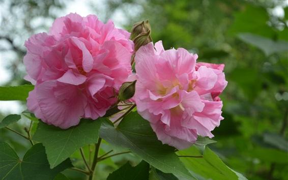 Papéis de Parede flores cor de rosa, rosa-louca