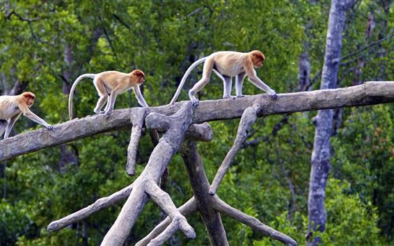Papéis de Parede Proboscis Monkeys, Sabah, Bornéu, Malásia