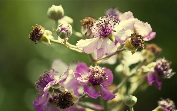 Fond d'écran pétales pourpres fleurs, bokeh, fond vert