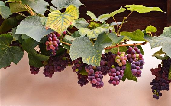 Fond d'écran raisins rouges, les feuilles, l'automne, la récolte