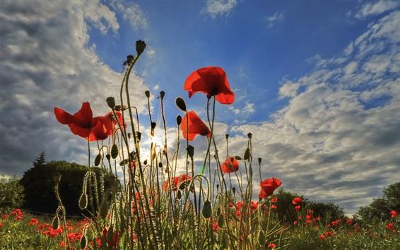 Papéis de Parede papoilas vermelhas, céu, nuvens, flores, raios de sol