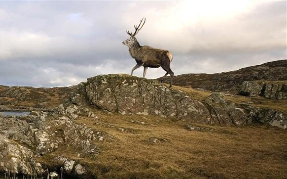 Обои Шотландский Stag, остров Скай, Шотландия, Великобритания