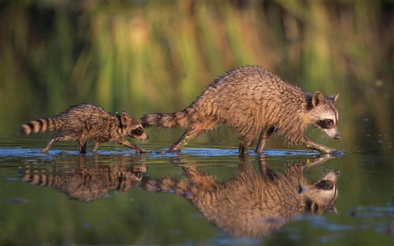 Papéis de Parede Dois guaxinins, mãe e filhote, reflexão da água