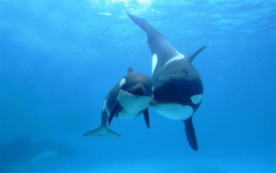 Обои Киты, подводный, море, мать и ребенок