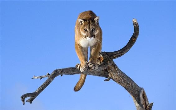 Wallpaper Wild cat, puma, dry tree