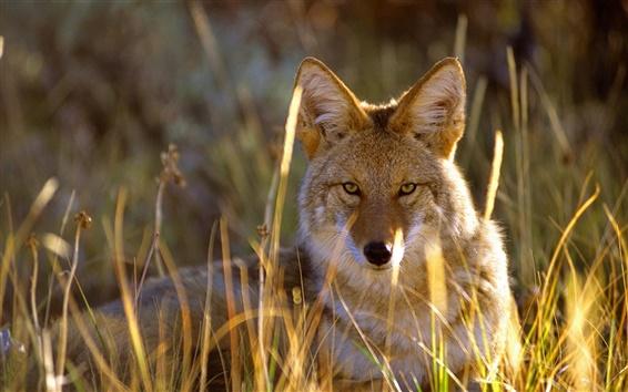 Обои Волк в траве, Черный Каньон, Национальный парк Gunnison, США