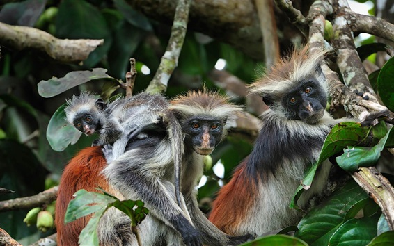 Wallpaper Zanzibar island, red colobus, monkeys