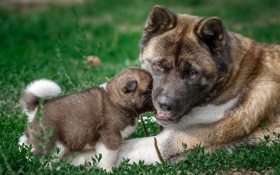 Wallpaper American Akita dog, mother and puppy