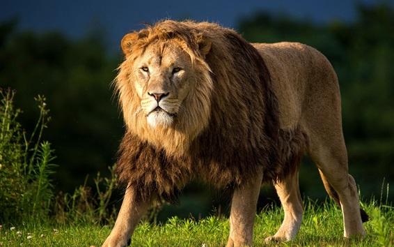 Fond d'écran Animaux close-up, lion, crinière, prédateur, herbe