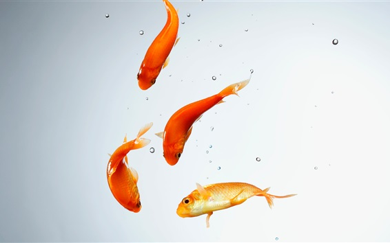 Papéis de Parede Aquário, peixe dourado, água, bolhas