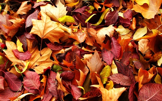Wallpaper Autumn nature, red and yellow maple leaves, ground