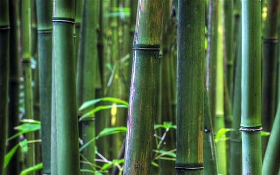 Wallpaper Bamboo forest, Maui, Hawaii, USA