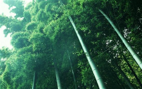 Обои Бамбуковый лес, зеленый