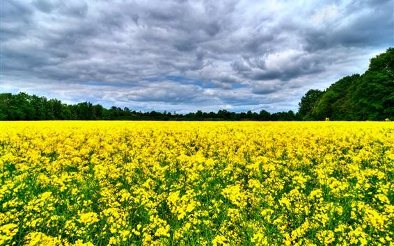 Fond d'écran Belles fleurs de canola champ, arbres, nuages
