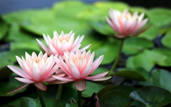 Papéis de Parede Belas flores, lírios de água cor de rosa, orvalho