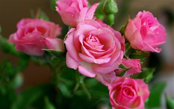 Papéis de Parede -de-rosa bonita levantou-se flores, orvalho