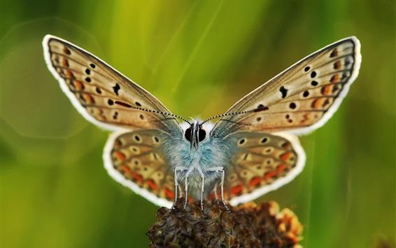 壁紙 蝶マクロ撮影、翼