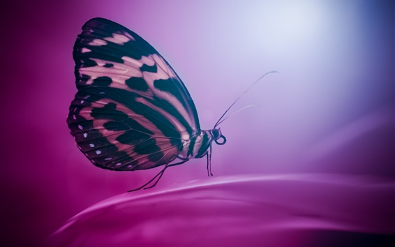 Wallpaper Butterfly, wings, insect, purple background