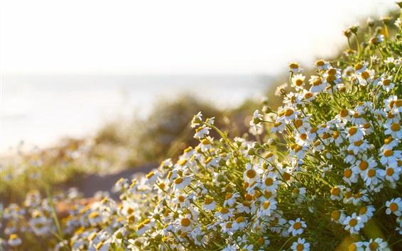Papéis de Parede flores de camomila, verão, sol