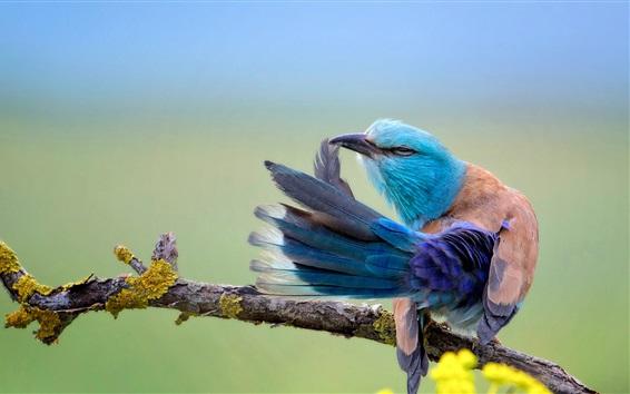 Papéis de Parede Coracias Garrulus, azul pássaro pena