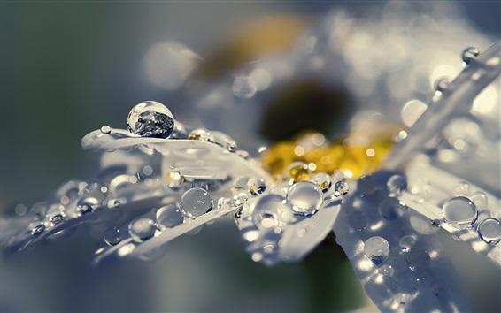 壁紙 デイジーはマクロ撮影、水滴、露の花びら