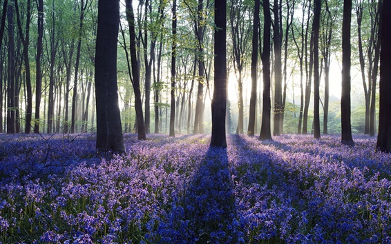 Wallpaper Dawn in bluebell woodland, Hampshire, England