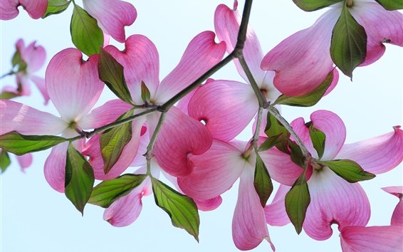 Wallpaper Dogwood branches, pink flowers, petals