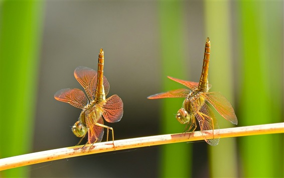 Wallpaper Dragonflies dance, couple, insect close-up
